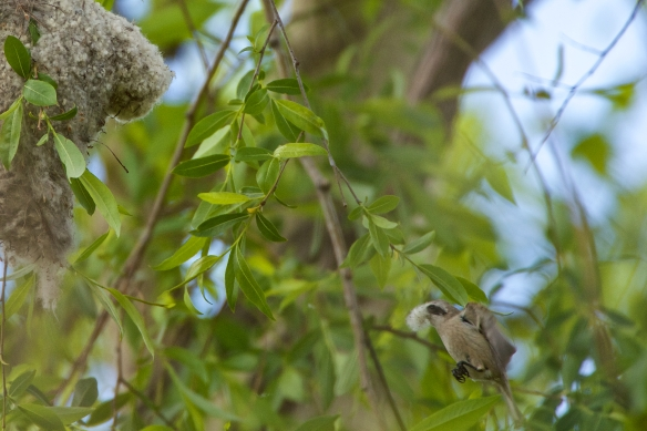 Penduline tit flying to nest w material