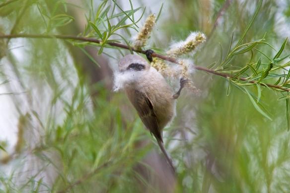 Penduline tit gathering nesting material