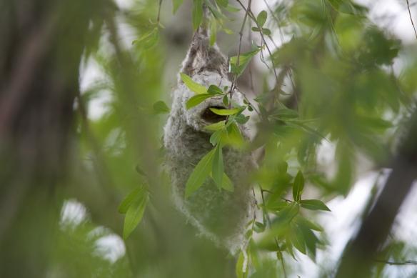 Penduline tit nest hidden plain sight