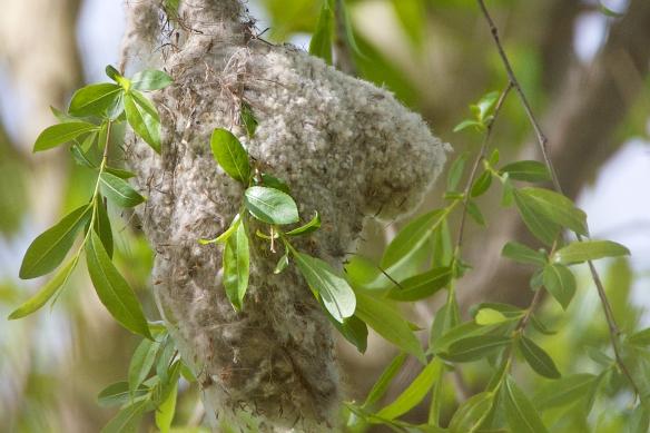 Penduline tit nest profile detail