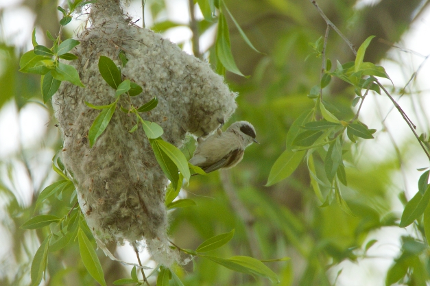 Penduline tit taking a look fm nest