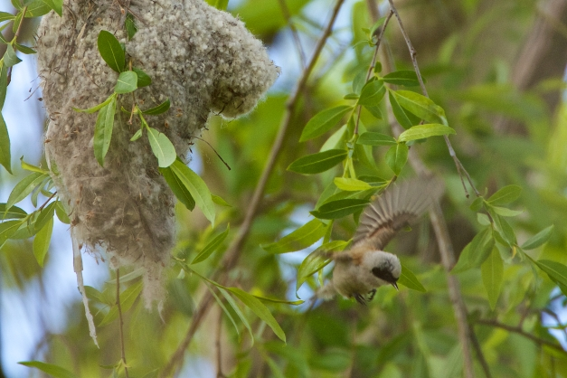 Penduline tit taking off fm nest