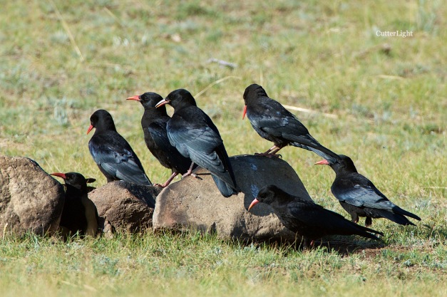 chough convention n