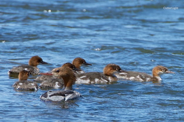 Common merganser family Tuul n