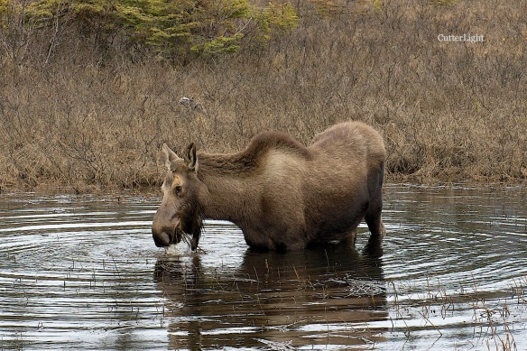 moose in beaver pond n
