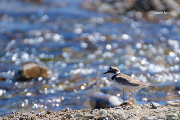 Plover Little Ringed UB 2015 n