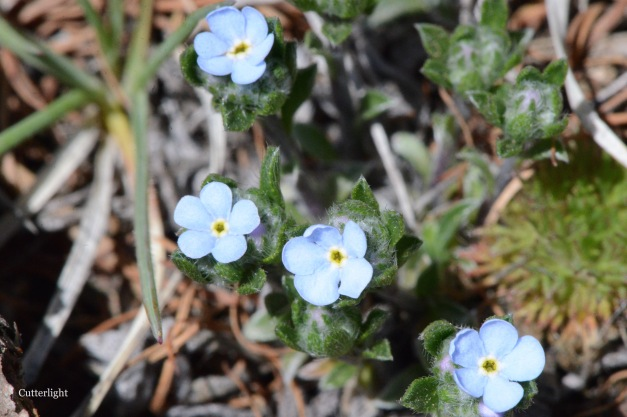 forget-me-nots mongolia n