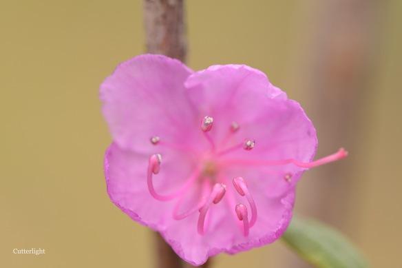 pink flower macro stamens n