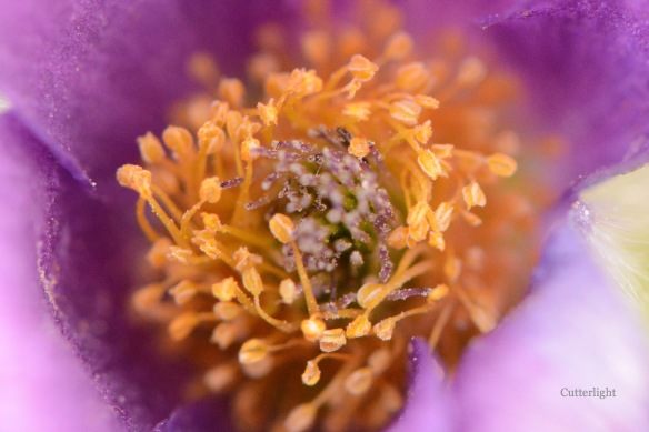 purple flower macro inside pollen n