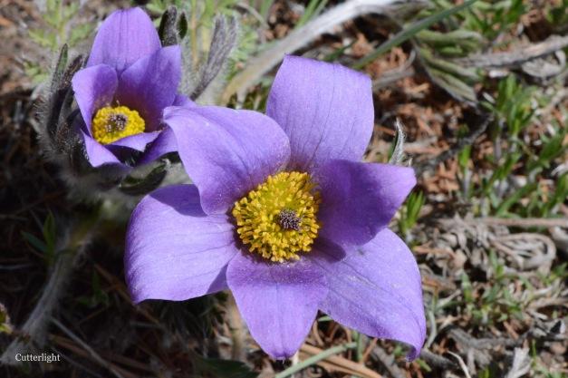 purple flower Mongolia n