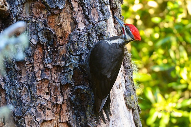 pileated woodpecker n