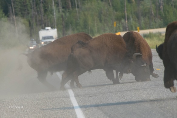 Bison Bull Fight n
