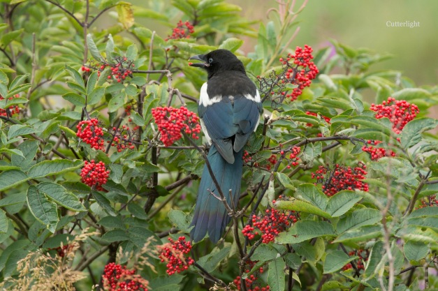 magpie in elderberries n