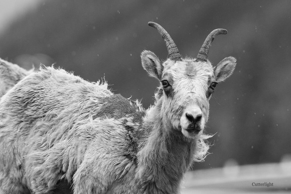 mountain sheep give us a kiss n
