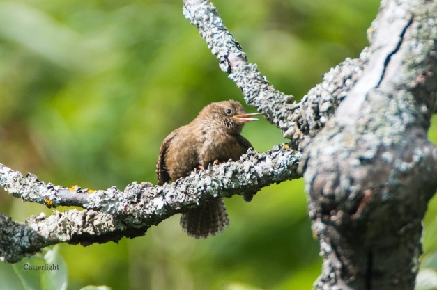 Pacific wren profile right 4 n