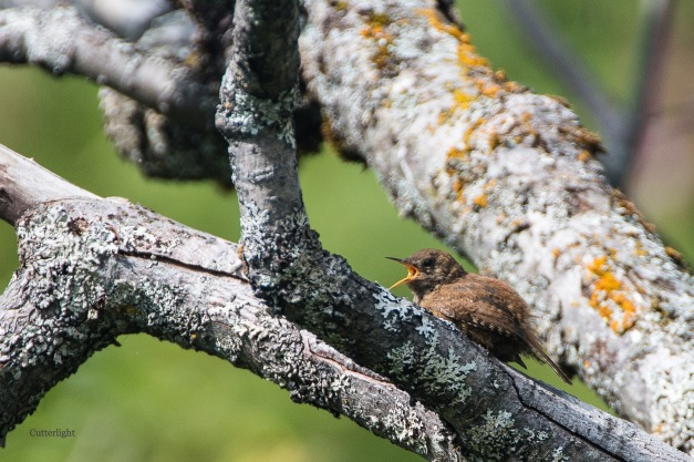 pacific wren singing 3 n