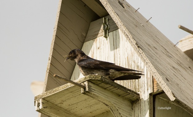 purple martin female n
