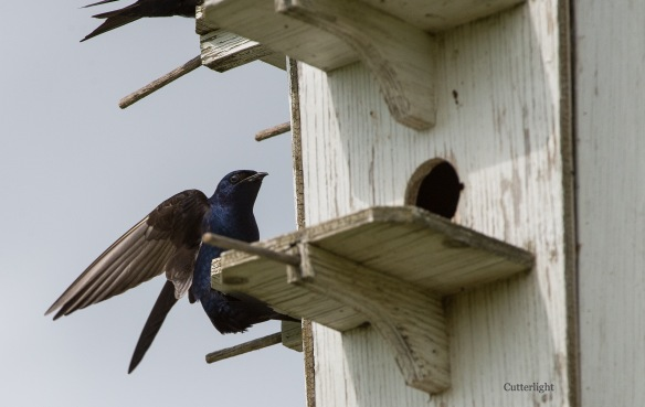 Purple Martin male wings n