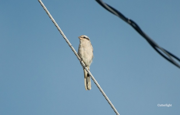 shrike on wire 4 n