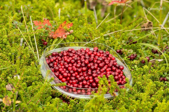 cranberries-in-moss-berries-n