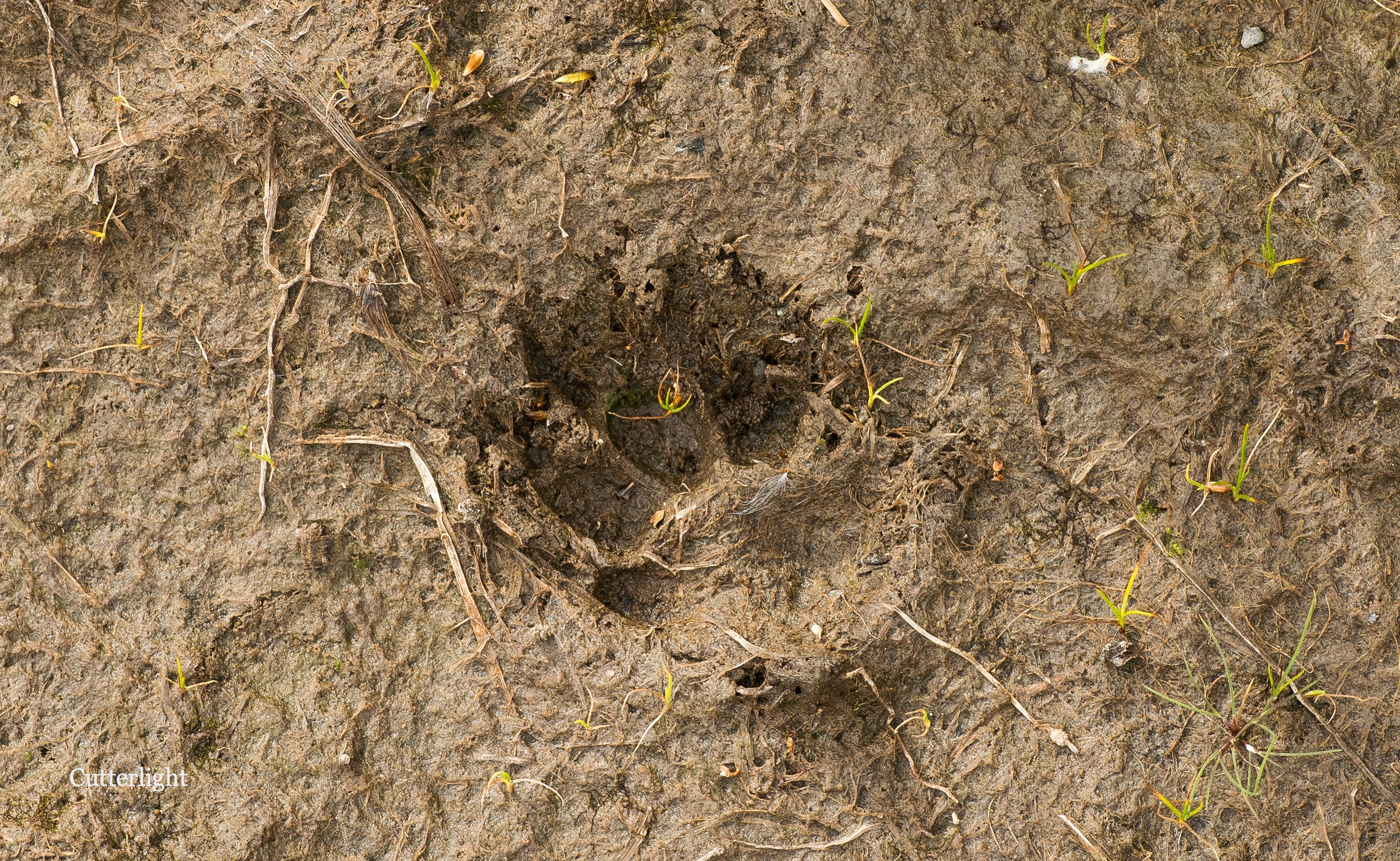 fox-track-1st-meadow-n