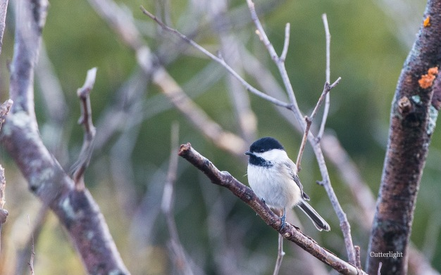 chickadee-first-frost-n