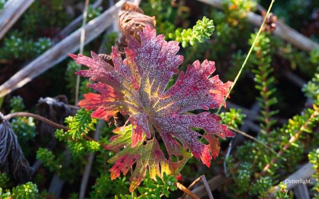 geranium-fall-frost-n