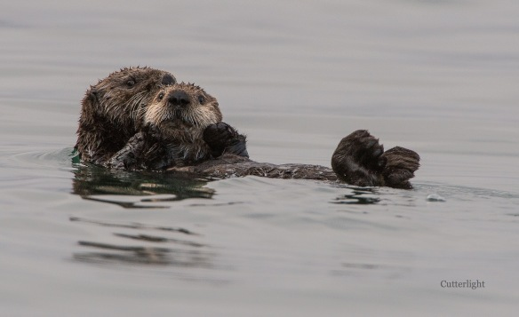 sea-otter-mother-n-baby-n