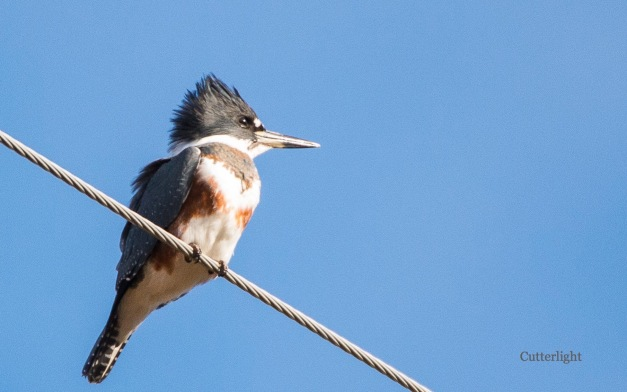 belted-kingfisher-wire-blue-n