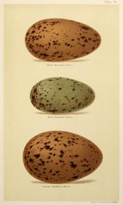 eggs_of_british_birds_seebohm_1896_plate21-2