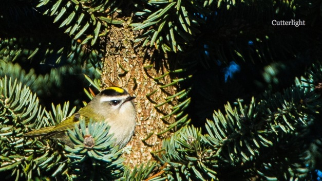 golden-crown-kinglet-nov-4n