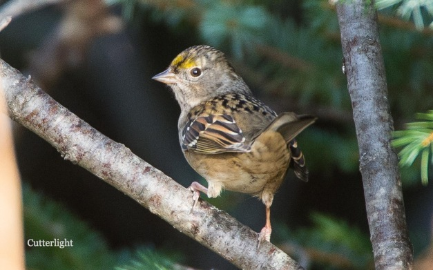 golden-crown-sparrow-1st-yr-n