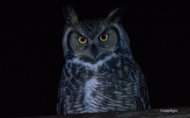 great-horned-owl-looking-straight-nov-6-n