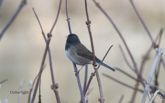 junco-oregon-chignik-n