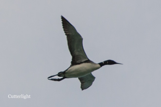 loon-in-flight-n