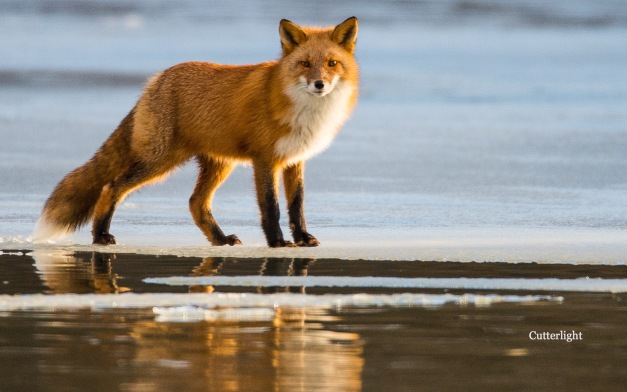 red-fox-1st-looking-me-n