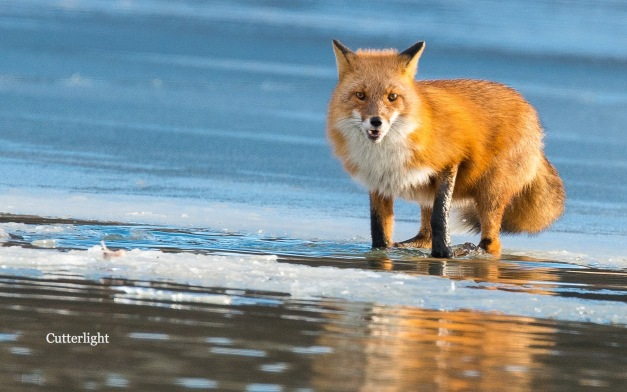 red-fox-beseaching-n