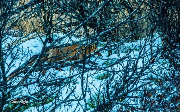 red-fox-in-thicket-n