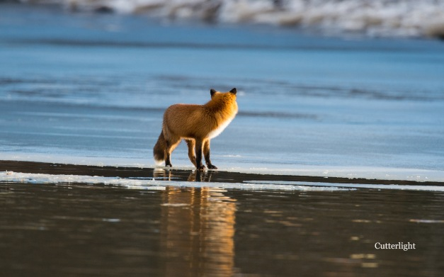 red-fox-looking-back-fm-ice-n
