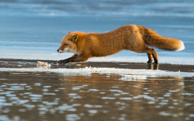red-fox-paws-on-floating-ice