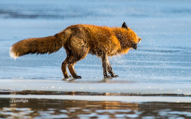 red-fox-shaking-off-water-n