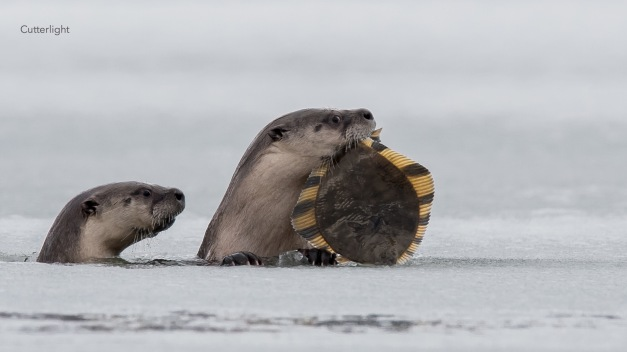 2-otters-starry-flounder-02-02-17-n
