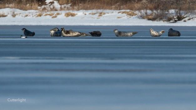9-seals-ice-02032017-n