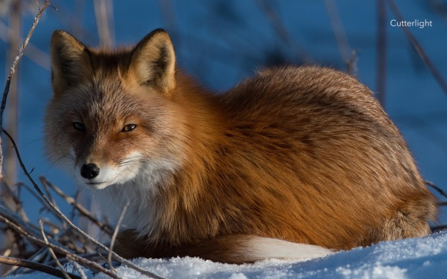 fox-curled-up-in-sun-n