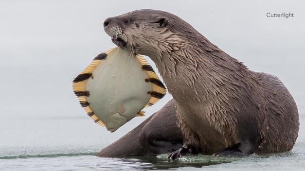 otter-frame-starry-flounder-02-02-17-copy-n