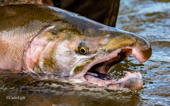 male Coho Salmon Chignik River Alaska