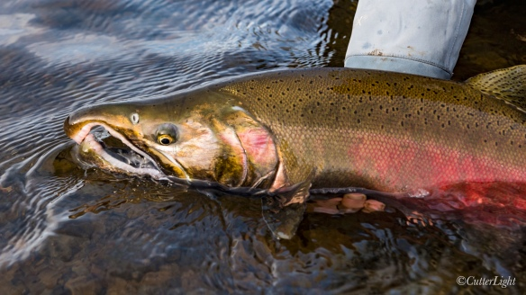 Coho Salmon in Fall Color Chignik River Alaska
