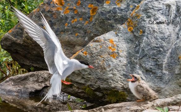 Arctic Tern feeding chick Alaska