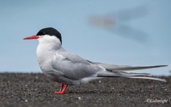 Arctic Tern Chignik Lake