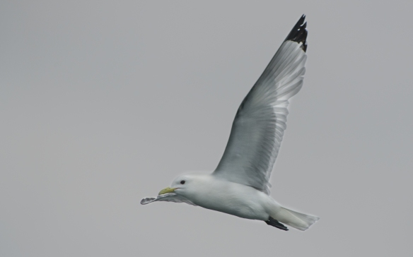 Black-legged Kittiwake flight